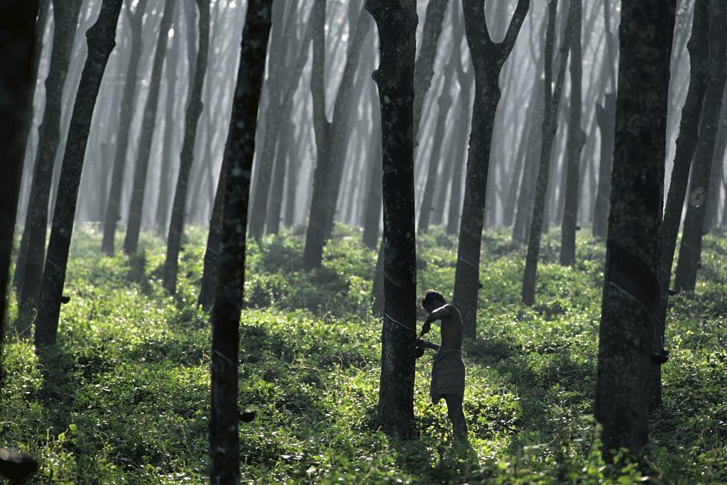 斯里兰卡橡胶树